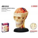 4D Master Beyin ve Kranial Sinirler Maketi