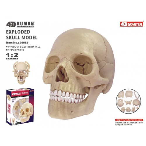 4D Master Kafatası Maketi