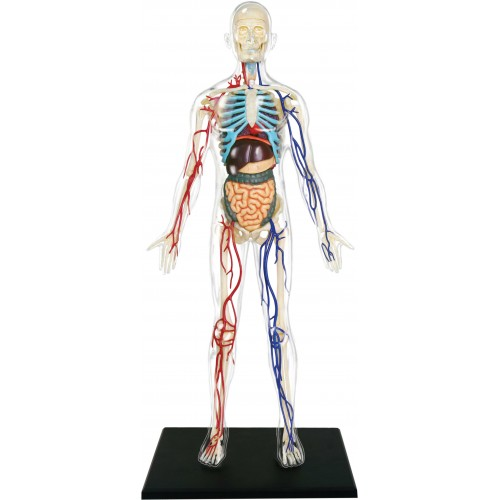4D Master Şeffaf İnsan Vücudu Maketi 33 cm